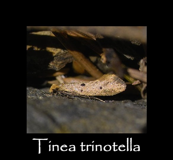 T Tinea trinotella 3 (2)
