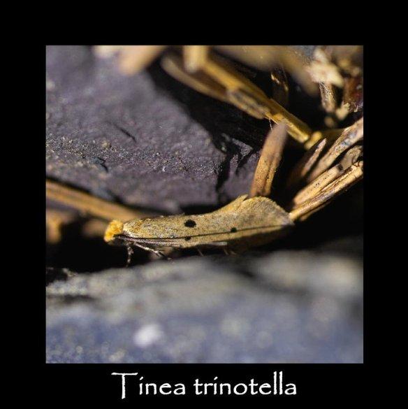 T Tinea trinotella