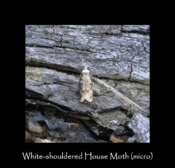 T White-shouldered House  Moth (micro) (2)