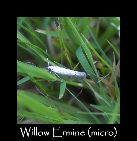 T Willow Ermine (micro) 2
