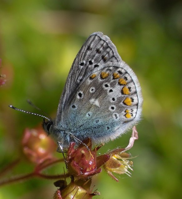 L Common Blue (B) (3)