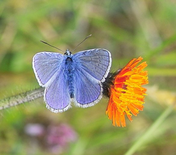 L Common Blue (B Male) (3)