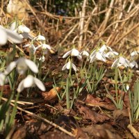 NGS Snowdrop Garden and Spring Bulbs 2014 - 'First Week' at Gelli Uchaf