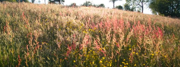welsh-wild-flower-meadow-grasses