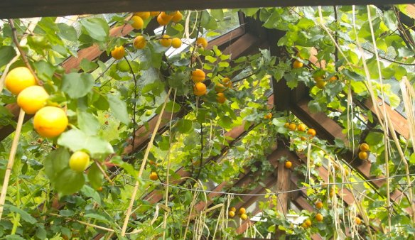 Tomcot-apricots-in-compost-heated-greenhouse.jpg