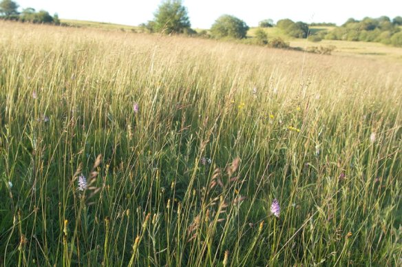 cae-blean-dyffryn-coronation-meadow.jpg
