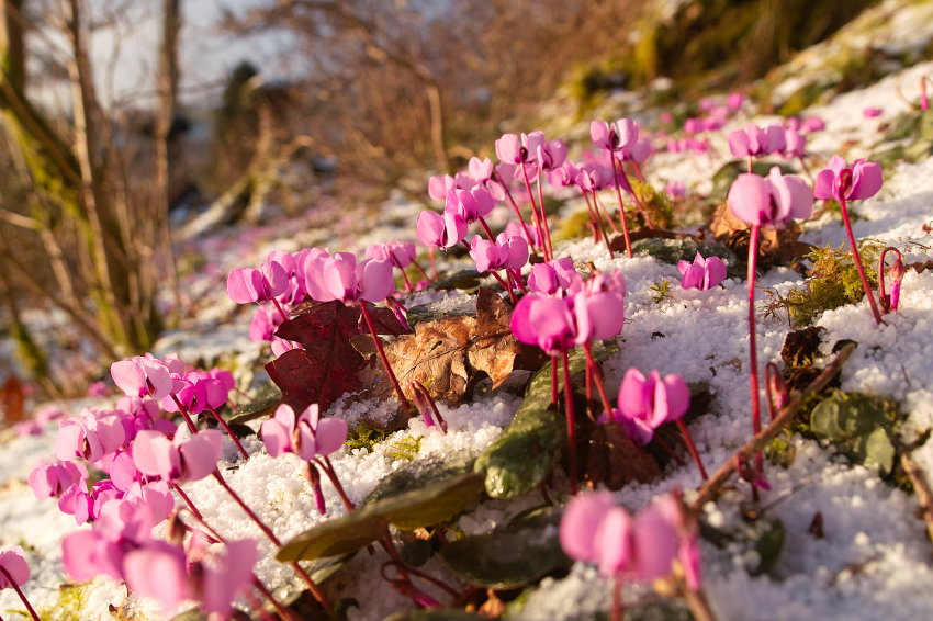 db195a374 Candles in the Wind – The delights of Snow Crocuses  and Spiral ...