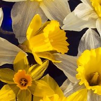 Welsh Daffodils 2015