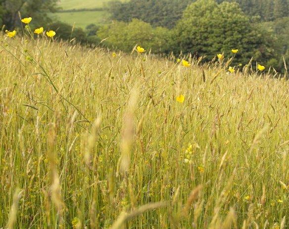 Meadow plants and flowers thegardenimpressionists ragged robin mightylinksfo