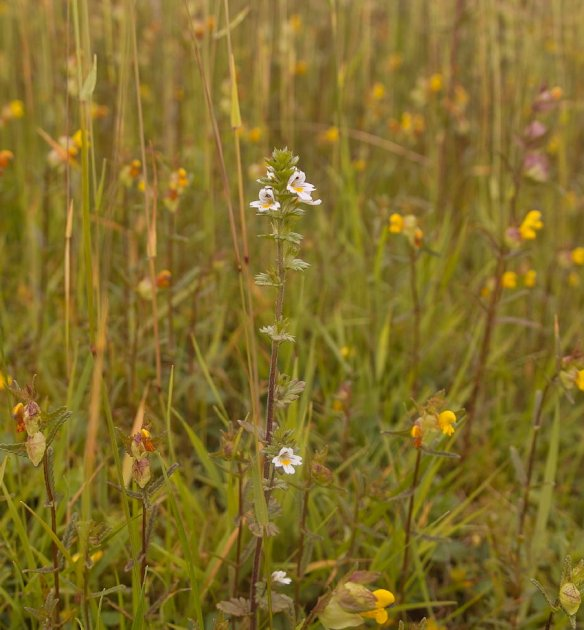 Meadow plants and flowers thegardenimpressionists there is a wide range of hawkweeds and hawkbits that are quite tricky to differentiate fairly tall yellow flowers usually taller than dandelions mightylinksfo