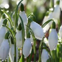 Gelli Uchaf Snowdrops - Early Season