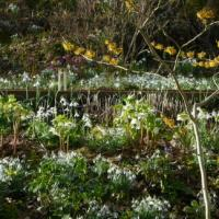 NGS Snowdrop and Spring Bulb Weekend 2018