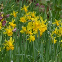 Narcissus Nirvana; Garden Masterclass; Lockdown and N.G.S. Garden Opening; Mad about Moles.